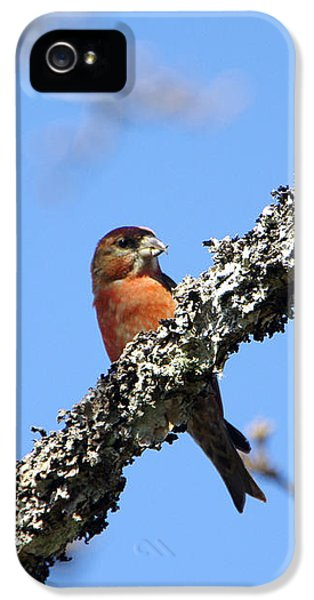 Crossbill iPhone 5s Case - Red Crossbill Finch by Marilyn Wilson