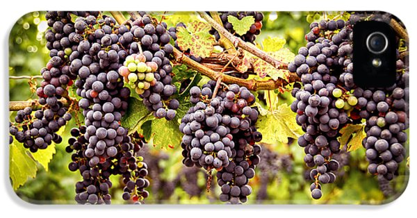 Red Grapes In Vineyard IPhone 5s Case