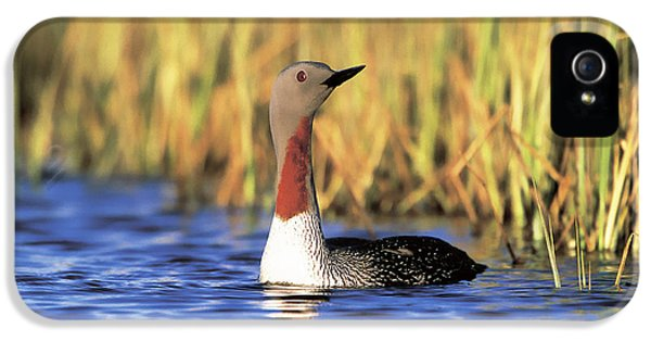 Red-throated Loon IPhone 5s Case by Paul J. Fusco