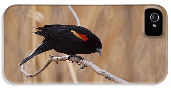 Red Winged Blackbird 1 IPhone 5s Case