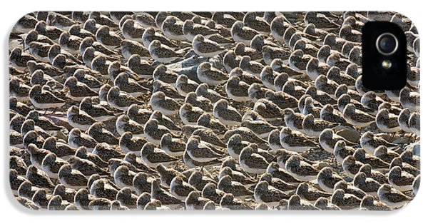 Semipalmated Sandpipers Sleeping IPhone 5s Case by Yva Momatiuk John Eastcott