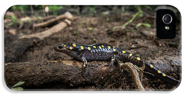 Salamanders iPhone 5s Case - Spotted Salamander (ambystoma Maculatum by Pete Oxford
