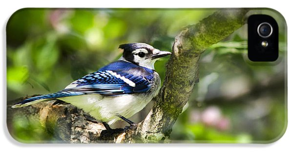 Spring Blue Jay IPhone 5s Case by Christina Rollo