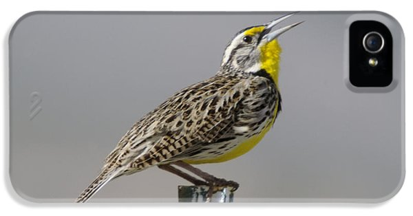 Meadowlark iPhone 5s Case - The Meadowlark Sings  by Jeff Swan