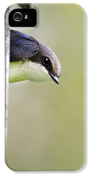 Tree Swallow Closeup IPhone 5s Case by Christina Rollo