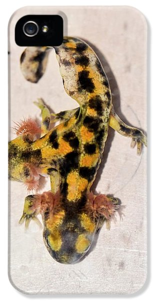 Salamanders iPhone 5s Case - Two-headed Fire Salamander by Photostock-israel