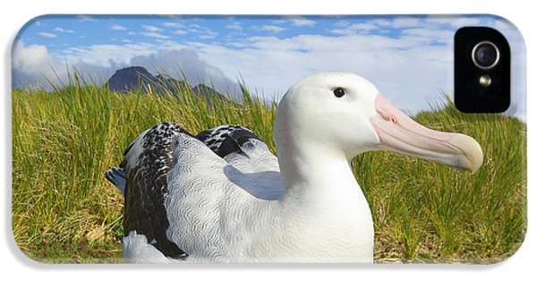 Albatross iPhone 5s Case - Wandering Albatross Incubating  by Yva Momatiuk John Eastcott