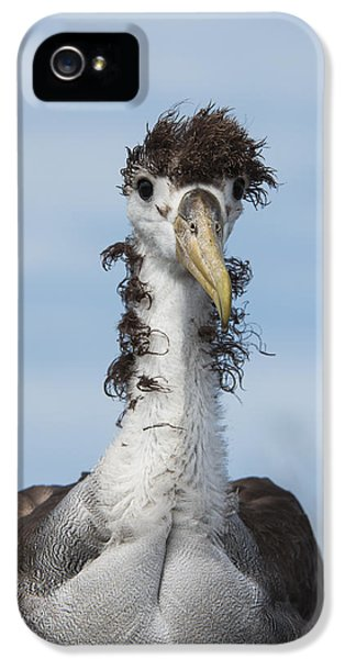 Waved Albatross Molting Juvenile IPhone 5s Case by Pete Oxford
