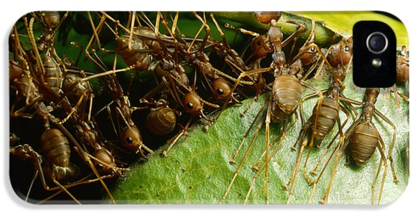 Weaver Ant Group Binding Leaves IPhone 5s Case by Mark Moffett