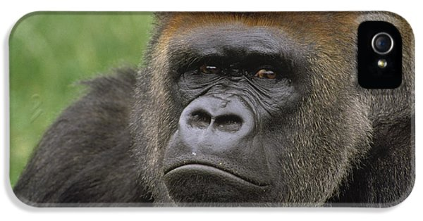 Western Lowland Gorilla Silverback IPhone 5s Case by Gerry Ellis