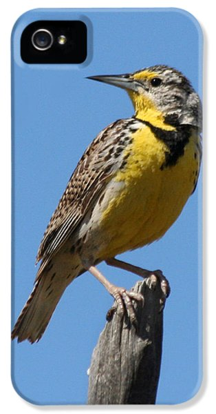 Western Meadowlark Perching IPhone 5s Case by Bob and Jan Shriner