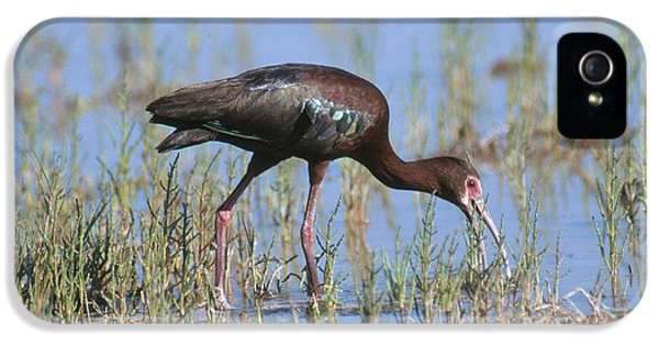 White-faced Ibis IPhone 5s Case by Anthony Mercieca