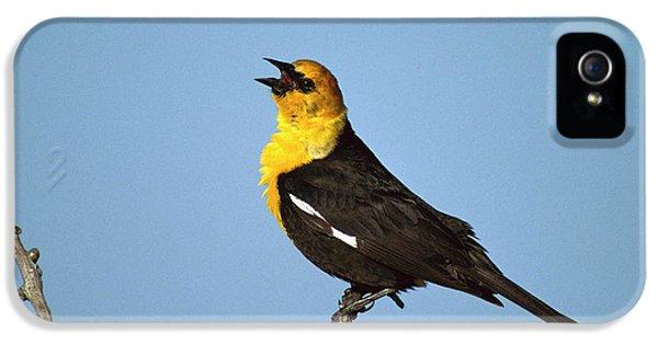 Yellow-headed Blackbird Singing IPhone 5s Case by Tom Vezo