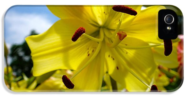 University Of Minnesota iPhone 5s Case - Yellow Whopper Lily 2 by Jacqueline Athmann
