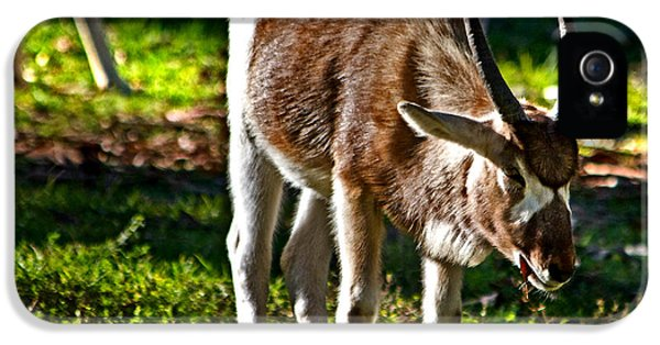 Youngster Addax IPhone 5s Case by Miroslava Jurcik