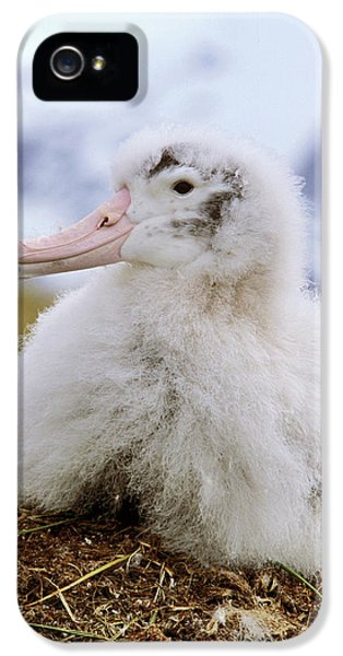 Albatross iPhone 5s Case - Young Wandering Albatross (diomendea by Martin Zwick