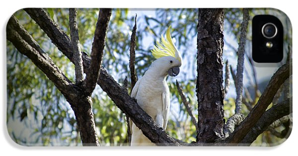 Sulphur Crested Cockatoo IPhone 5s Case by Douglas Barnard
