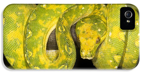 Green Tree Python IPhone 5s Case by Dante Fenolio