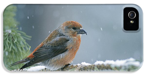 Crossbill iPhone 5s Case - A Red Crossbill Loxia Curvirostra by Michael S Quinton