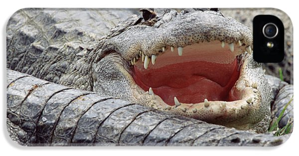 American Alligator Alligator IPhone 5s Case by Tim Fitzharris