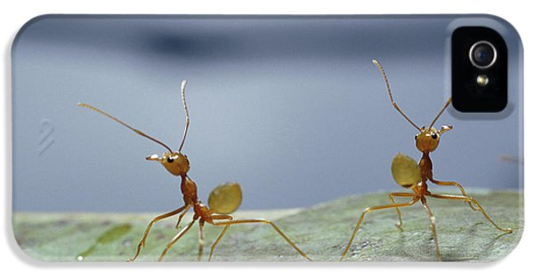 Far North Queensland iPhone 5s Case - Two Green Tree Ants Standing by Jason Edwards