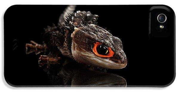 Closeup Red-eyed Crocodile Skink, Tribolonotus Gracilis, Isolated On Black Background IPhone 5s Case by Sergey Taran