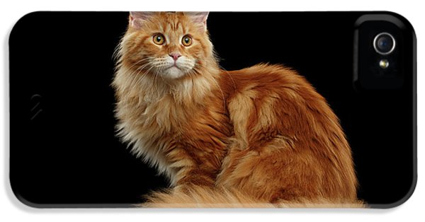 Cat iPhone 5s Case - Ginger Maine Coon Cat Isolated On Black Background by Sergey Taran