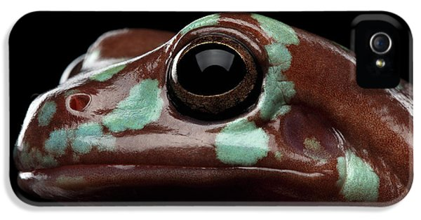 Australian Green Tree Frog, Or Litoria Caerulea Isolated Black Background IPhone 5s Case by Sergey Taran