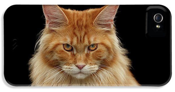 Cat iPhone 5s Case - Angry Ginger Maine Coon Cat Gazing On Black Background by Sergey Taran