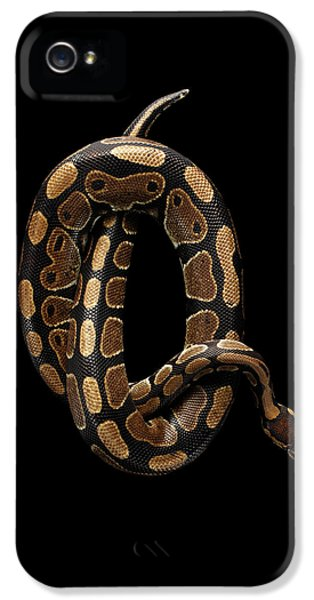 Ball Or Royal Python Snake On Isolated Black Background IPhone 5s Case by Sergey Taran