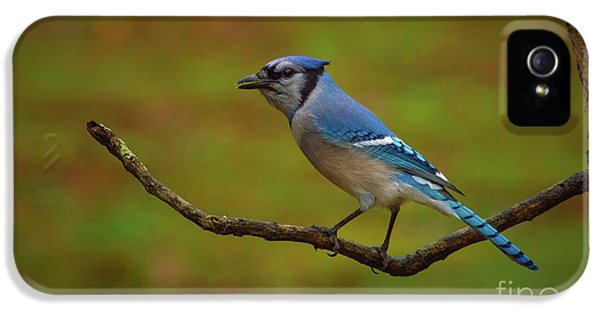 Bluejay iPhone 5s Case - Blue Jay by Lena Auxier