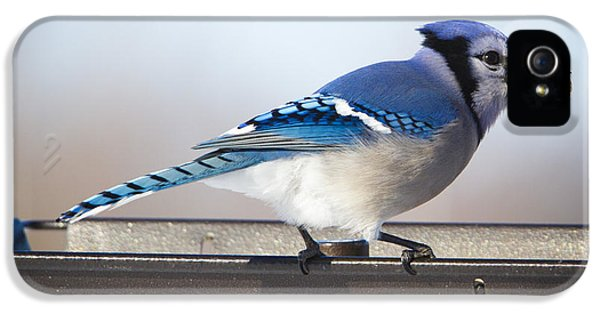 Blue Jay With A Mouth Full IPhone 5s Case by Ricky L Jones