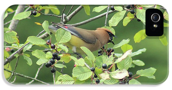 Cedar Waxwing Eating Berries IPhone 5s Case by Maili Page
