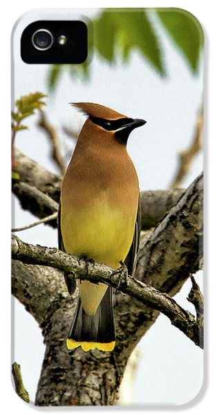 Cedar Waxing iPhone 5s Case - Cedar Waxwing - Spring Visitor by Geraldine Scull