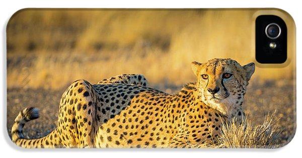 Cheetah Portrait IPhone 5s Case by Inge Johnsson