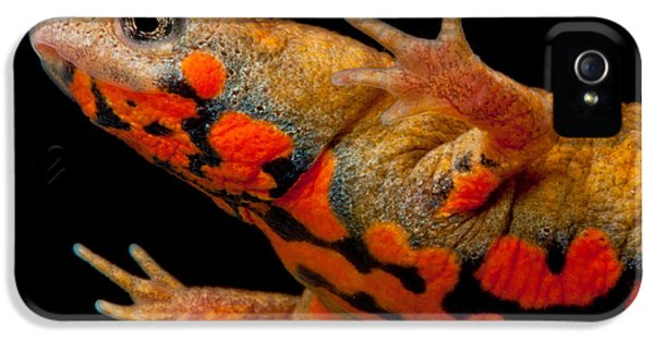 Chuxiong Fire Belly Newt IPhone 5s Case by Dant� Fenolio