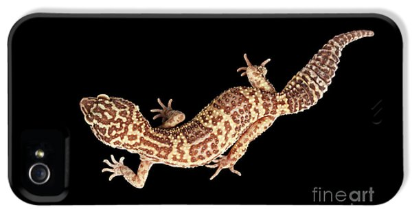 Closeup Leopard Gecko Eublepharis Macularius Isolated On Black Background IPhone 5s Case by Sergey Taran