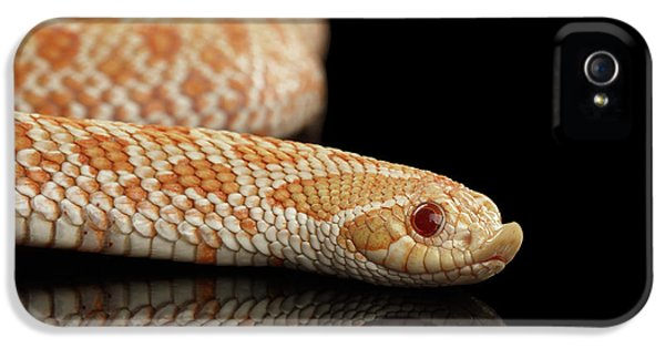 Closeup Pink Pastel Albino Western Hognose Snake, Heterodon Nasicus Isolated On Black Background IPhone 5s Case by Sergey Taran
