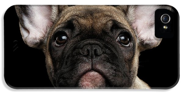 Closeup Portrait French Bulldog Puppy, Cute Looking In Camera IPhone 5s Case by Sergey Taran