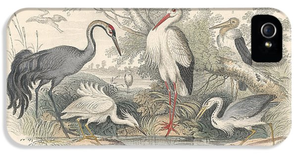 Cranes IPhone 5s Case by Dreyer Wildlife Print Collections