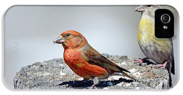 Crossbill iPhone 5s Case - Crossbills by Brad Christensen