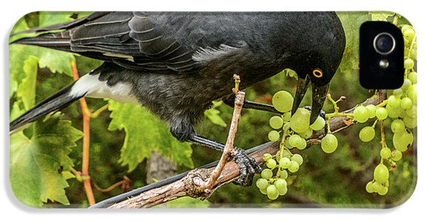 Currawong On A Vine IPhone 5s Case