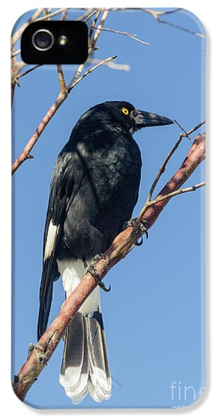 Currawong IPhone 5s Case
