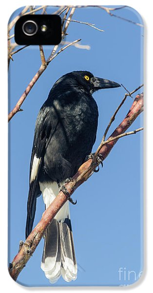 Currawong IPhone 5s Case by Werner Padarin