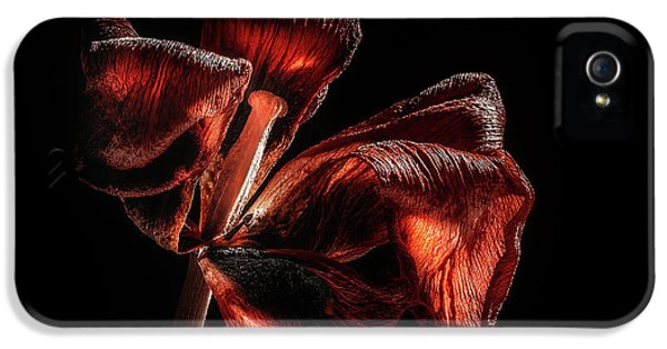 Tulip iPhone 5s Case - Dried Tulip Blossom by Scott Norris