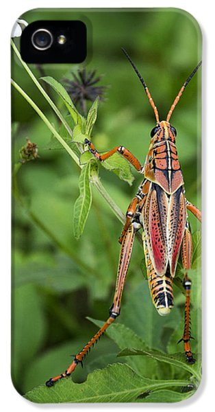 Eastern Lubber Grasshopper  IPhone 5s Case by Saija  Lehtonen