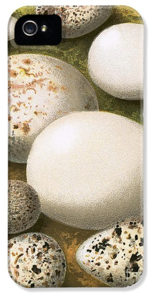 Sandpiper iPhone 5s Case - Eggs by English School