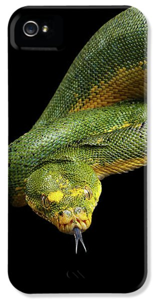 Green Tree Python. Morelia Viridis. Isolated Black Background IPhone 5s Case by Sergey Taran