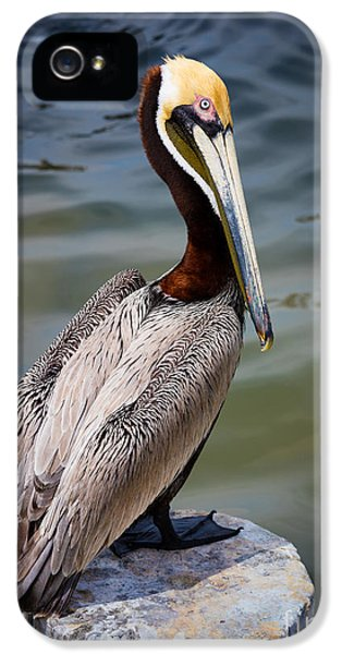 Grey Pelican IPhone 5s Case by Inge Johnsson