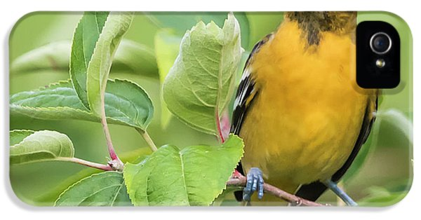 Immature Baltimore Oriole  IPhone 5s Case by Ricky L Jones